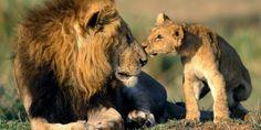 Avaaz - EUA e União Europeia: salvem os leões africanos!