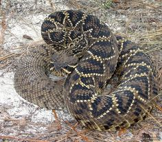 """Sixteenth deadliest snake in the world: Eastern Diamondback found in Southeastern United States. This is the largest venomous snake in North America, and featured on early American flags """"Don't Tread on Me"""""""