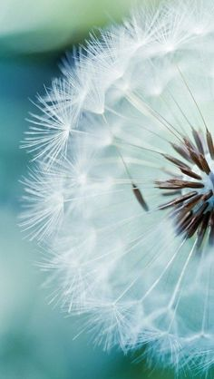 25 köstliche Blumenfotos - Beauty of nature - Flowers Dandelion Wallpaper, Frühling Wallpaper, Spring Wallpaper, Flower Wallpaper, Nature Wallpaper, Teal Wallpaper Iphone, Wallpaper Quotes, Fotografia Macro, Janeiro Wallpaper