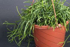 Rhipsalis baccifera [Mistletoe Cactus] - good for hanging containers