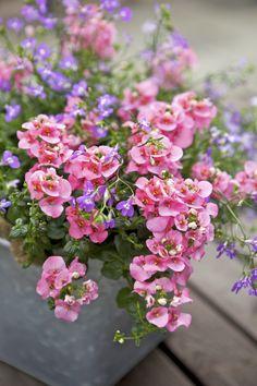 Underbara tvillingsporre i kruka. http://www.blomsterlandet.se/Tips-och-artiklar/Tips-och-artiklar/Tradgard/Sommarplantor/Sommarplantor/Plantera-Sommarplantor-I-Kruka-Med-Blomsterlandet-/?query=sommarplantor&category=Tips-och-artiklar-general