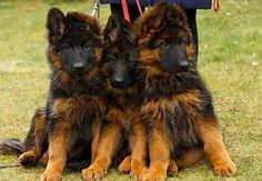 Longhaired German Shepherd Dog puppies - lovely dark color