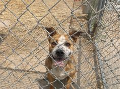 ***SUPER SUPER URGENT!!!*** - PLEASE SAVE ME!! - EU DATE: 7/30/2015 -- 3533 Breed:Cattle Dog (mix breed) Age: Adult Gender: Male Size: Large Special needs: noKids, Shelter Information: Lamar Animal Shelter 8551 Rd EE.5 Lamar, CO Shelter dog ID: 3533 Contacts: Phone: 719-336-8769 Name: Officer Davis email: lpdshelter@hotmail.com About 3533: This boy had been at the shelter for a while now. He needs someone with a gentle hand. He loves to go for walks and plays fetch. He doesn't appear to mind ot