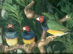 Gouldian Finch - Melanistic