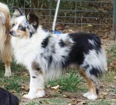 This is the next dog we're getting... hopefully soon!!! Gorgeous adult blue merle mini aussie shepherd