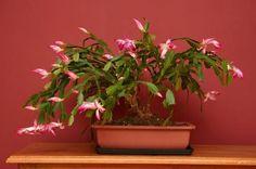 Como cultivar Flor de Maio. A Flor de Maio é uma planta da família das suculentas conhecida por ter o auge do seu florescimento no outono, mais especificamente entre abril e maio. Como qualquer plantas, para que ela cresça e flo...
