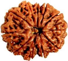 11 Eleven Mukhi (Face) Rudraksha It represents Lord Hanuman. It induces courage and confidence in the wearer to leads an adventurous life. Also helpful in meditation and removes problem of Yogic practices. When invoked, blesses with wisdom, right judgment, powerful vocabulary, adventurous life and success.11 mukhi Rudraksha blesses the possessor with strength, wisdom, right judgment, powerful vocabulary, adventurous life & success.