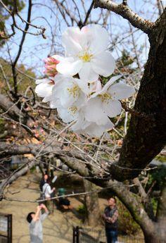 花を咲かせたソメイヨシノの標本木=熊本市西区の古町小