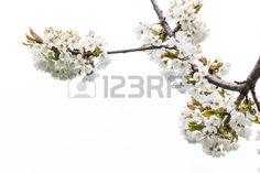 #Cherry #Blossoms @123RF @carinzia #123rf #ktr14 #download #highres #photo #new #flowerpower #flowers #spring #branch #tree #White #Focus #Austria #carinthia