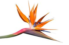 Bird of Paradise Flower. A Bird of Paradise flower isolated on a white backgroun , Bird Of Paradise Tattoo, Birds Of Paradise Flower, Bird Tattoo Wrist, Flower Wall Decals, Buy Birds, Bird Wallpaper, Bird Silhouette, Bird Crafts, White Stock Image