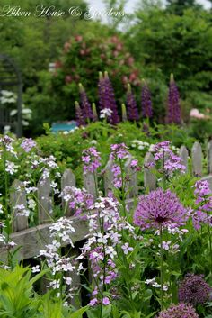 The alliums,sweet rocket and lupins are blooming around the picket fence.