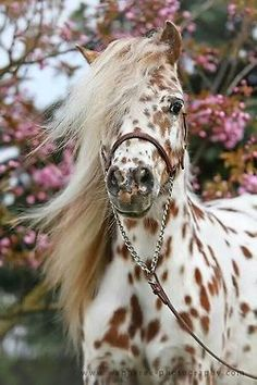 Leopard Appy with beautiful mane Learn about #HorseHealth #HorseColic http://www.loveyour.horse