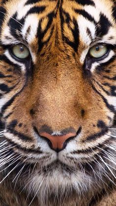 Sumatran Tiger-The most beautiful,in my opinion, Big Cat.Also the biggest,heaviest,tallest and most endangered of all Big Cats Beautiful Cats, Animals Beautiful, Big Cats, Cats And Kittens, Animals And Pets, Cute Animals, Wild Animals, Baby Animals, Funny Animals