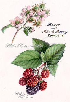 blackberry ⇒http://botanical.sakura.ne.jp/Gallery.html