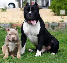 Do you love Pitbull? If yes read the types of Pitbull Breeds that are really popular right now. This list of Pitbull breed is very famous because of their extra ordinary characteristics Amstaff Terrier, Pitbull Terrier, Cute Puppies, Cute Dogs, Dogs And Puppies, Doggies, Beautiful Dogs, Animals Beautiful, Animals And Pets