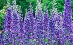 English Cottage garden flowers - delphiniums #garden #purple #flowers