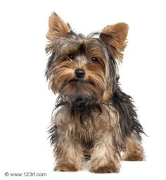 Yorkshire terrier                                                                                                                                                                                 More