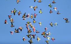 A flock of colored pigeons fly during a pigeon-breeding competition in the southern Spanish village of Bollullos de la Mitacion, on January 27, 2015. During competition a single dove is chased by dozens of pigeon cocks resulting winner the male which courts the hen for longer.