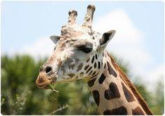 Giraffe heart...