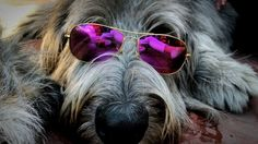 Irish Wolfhounds, Gentle Giant, Dog Love, Celtic, Cute Animals, Boys, Pictures, Animaux, Wolfhound