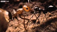 Ant colony raids a rival nest - Natural World - Empire of the Desert Ant...
