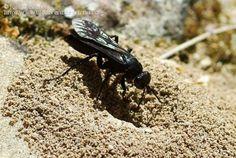 Título: Pompilidae, Descripción: Probablemente en la boca de su nido, Provincia/Distrito: Jaén, País: España, Fecha: 26/04/2012, Autor/a: José Biedma, Id: 396228