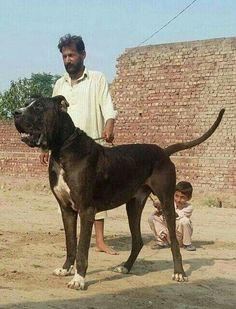 #BullyKutta Beautiful Dog Breeds, Beautiful Dogs, Animals Beautiful, Best Dog Breeds, Large Dog Breeds, Best Dogs, Huge Dogs, Giant Dogs, Kangal Dog