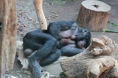 sleeping Monkey @ Gondwanaland Zoo - Leipzig