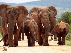 elefanten afrikanisch