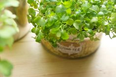 Grow microgreens at home in tea tins - mustard seeds, romano beans, mung beans and sunflower seeds ,...