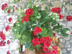 My red geranium