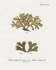Johann Esper Coral Prints 1791