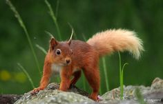 Just checking if you're still smiling...  http://justc-design.com/photography/red-squirrel-nuts-for-lunch/ … pic.twitter.com/V1hTfk28y8