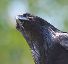 Your daily raven via Wendy Davis Photography FB
