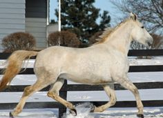 Irish Draught mare The Silver Lily