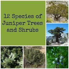 juniper tree - Google Search