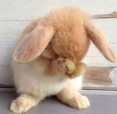 Je t& petit lapin.I used to have a rabbit that looked just like this.one day when my husband least expects it, I am getting an… Cute Baby Bunnies, Funny Bunnies, Lop Bunnies, Animals And Pets, Funny Animals, Amor Animal, Fluffy Bunny, Photo Chat, Cute Little Animals