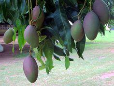 Mangoes growing in eastern Ghana. Capital Of Ghana, Accra, West Africa, Garden, Garten, Lawn And Garden, Gardening, Outdoor, Gardens