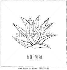 """Résultat de recherche d'images pour """"aloe vera drawing"""""""