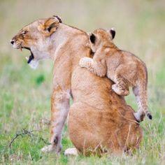 Aslan ile yavru aslan