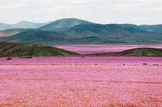 貴重な光景<br> チリの首都サンティアゴの北、約750キロに位置するアタカマ地...