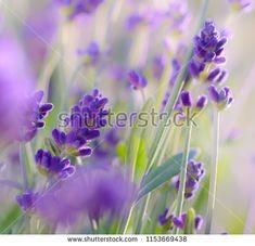 Purple flowers of lavender. Lavender Bush, Lavender Fields, Purple Flowers, Close Up, Bloom, Plants, Image, Plant, Planets