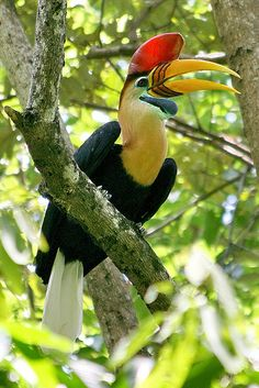 The colourful Hornbill, known for its booming call. There are about 55 species, those in the Phillippines facing imminent extinction due to hunting and habitat loss caused by deforestation.