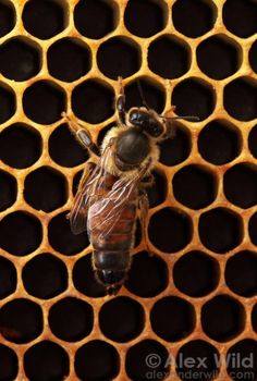 A queen bee is recognized by her elongate abdomen. All these wonderful photo's are made by alexander wild. There are many more on his website.