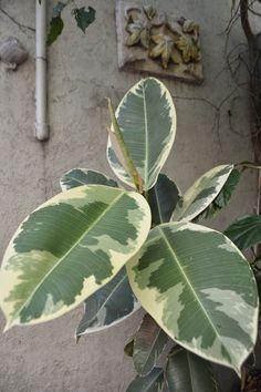 Gomeros: Ficus, Ficus Elastica and Pandurata.