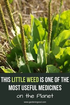 This Little Weed is one of the Most Useful Medicines on the Planet Natural Health Remedies, Natural Cures, Natural Healing, Healing Herbs, Medicinal Plants, Natural Medicine, Herbal Medicine, Edible Wild Plants, Natural Antibiotics