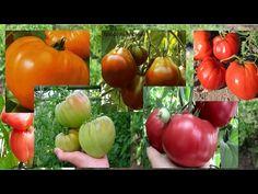 Обзор сортов крупноплодных помидоров. Лучшие сорта мясистых томатов 2017. - YouTube