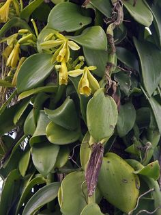 Growing your own vanilla -- fascinating, but seems like a lot of work ..