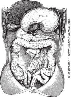 human anatomical drawing.