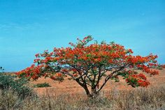 Acacia with red flowers, somewhere between Lobito and Luanda, Angola